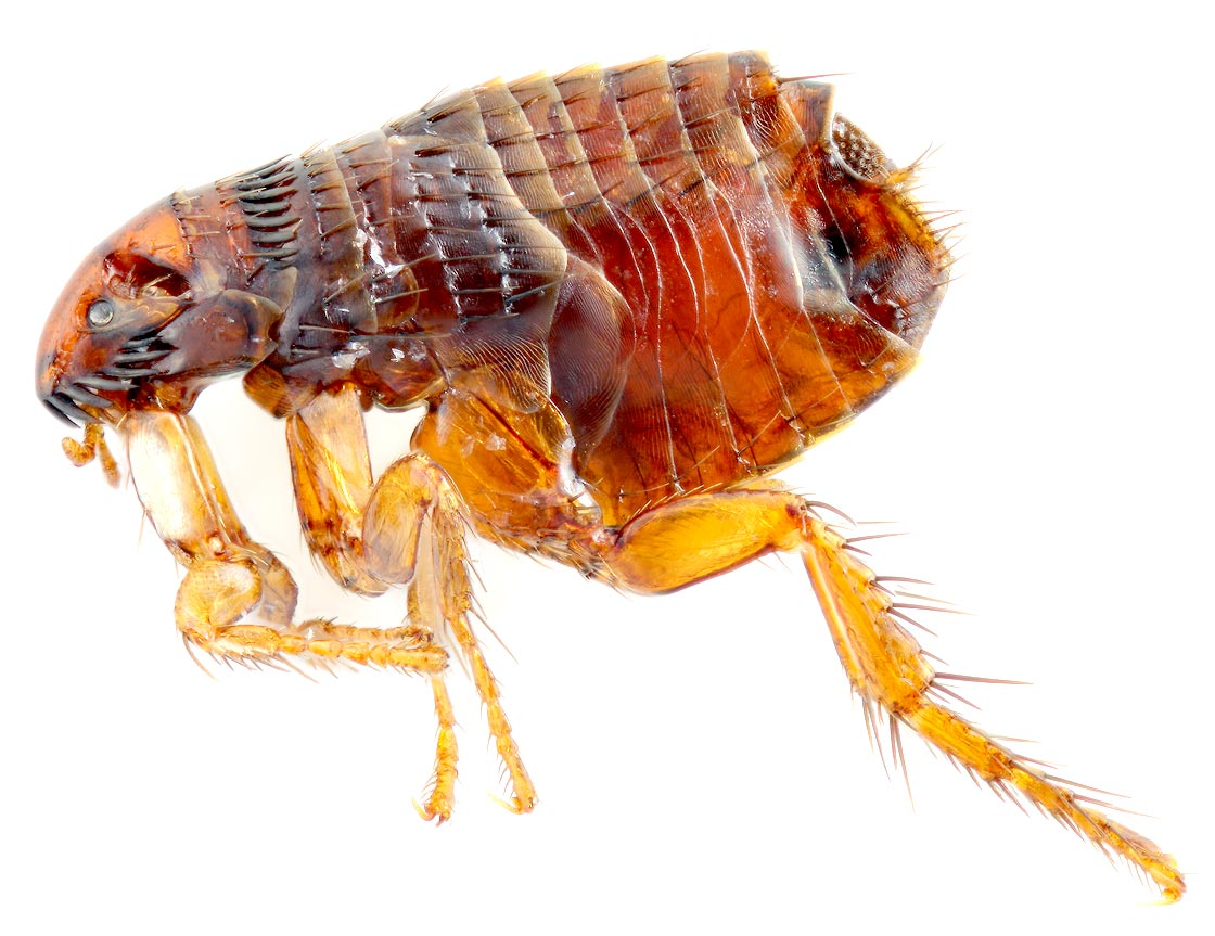 how to get rid of fleas around ur house